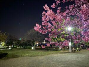 夜桜見物 社員Blog